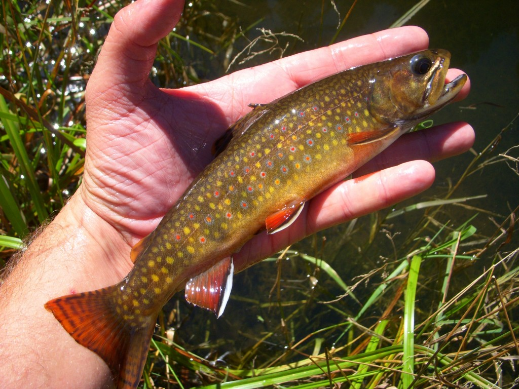 Arizona fly fishing catch and release arizona for Trout fishing in az