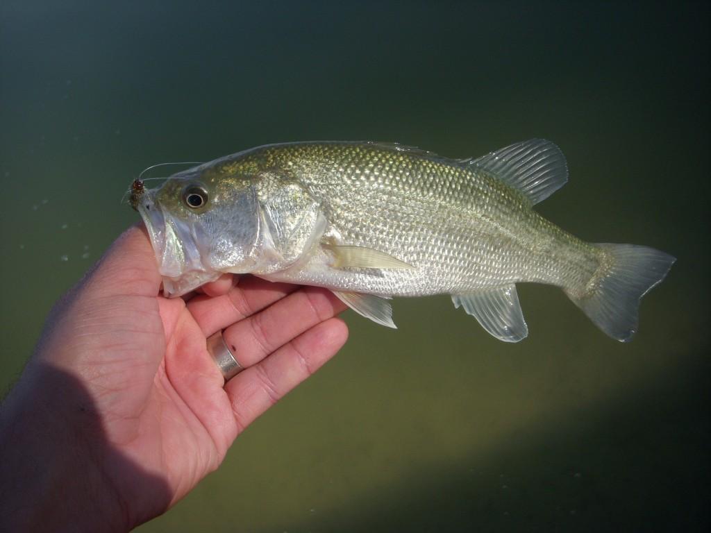 Arizona Urban Bass