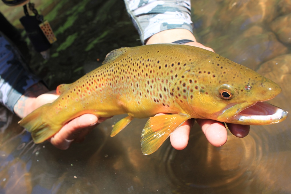 White Mountain Brown Trout