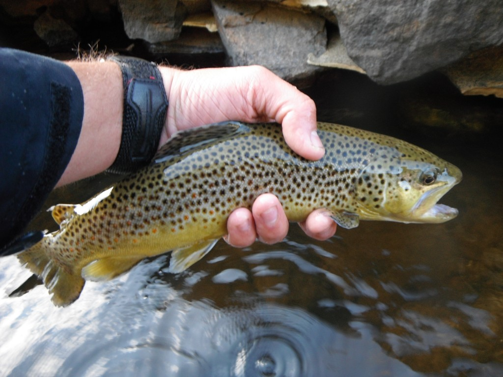 Ausable River Brown