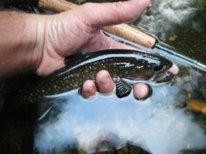 Adirondack brook trout arizona wanderingsarizona wanderings for Adirondack fly fishing