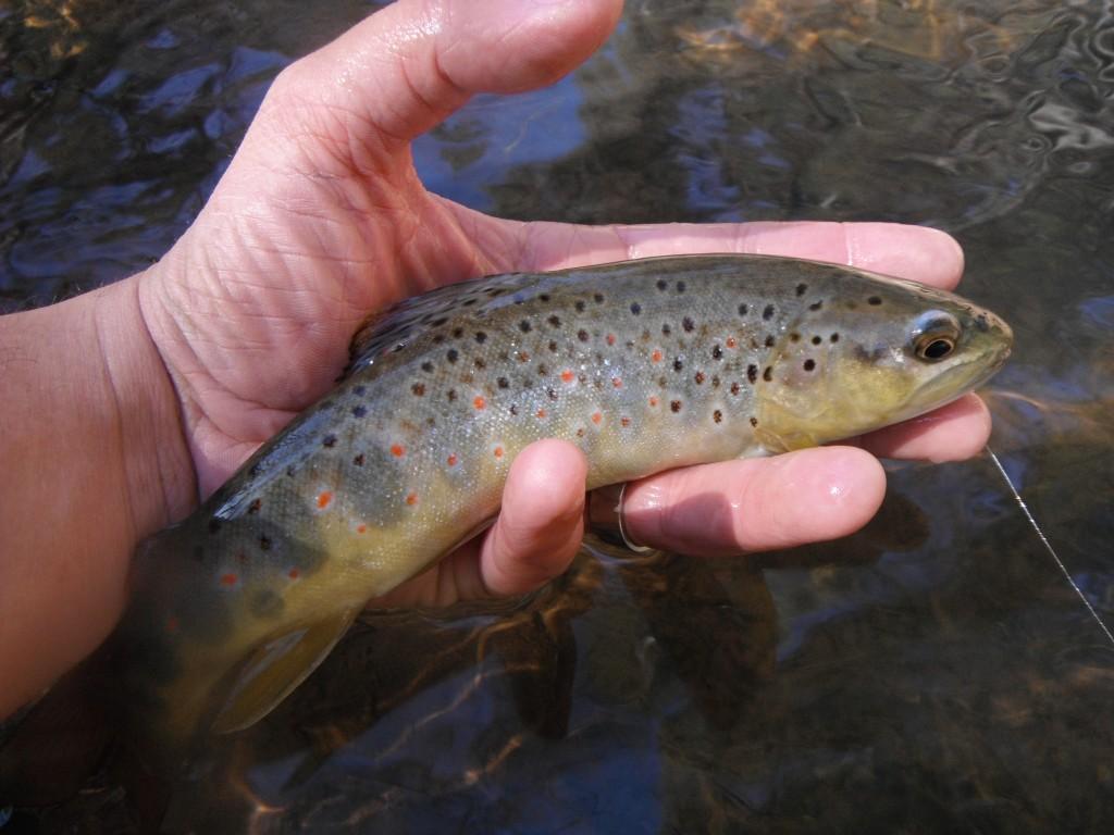 Arizona fly fishing creek fishing part 2 arizona for Arizona fly fishing