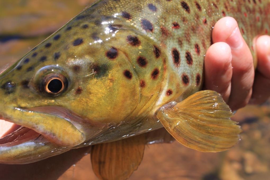 Arizona Brown Trout