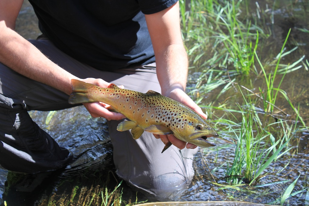 Arizona fly fishing exploring the white mountains for Trout fishing in az