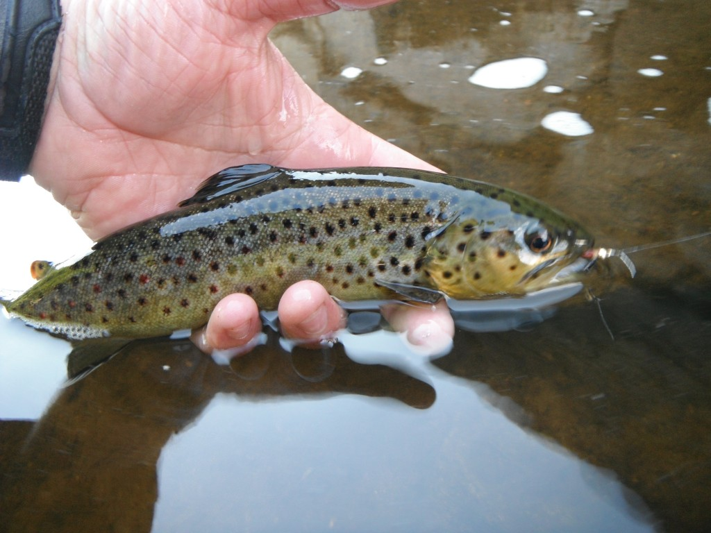Ausable Brown