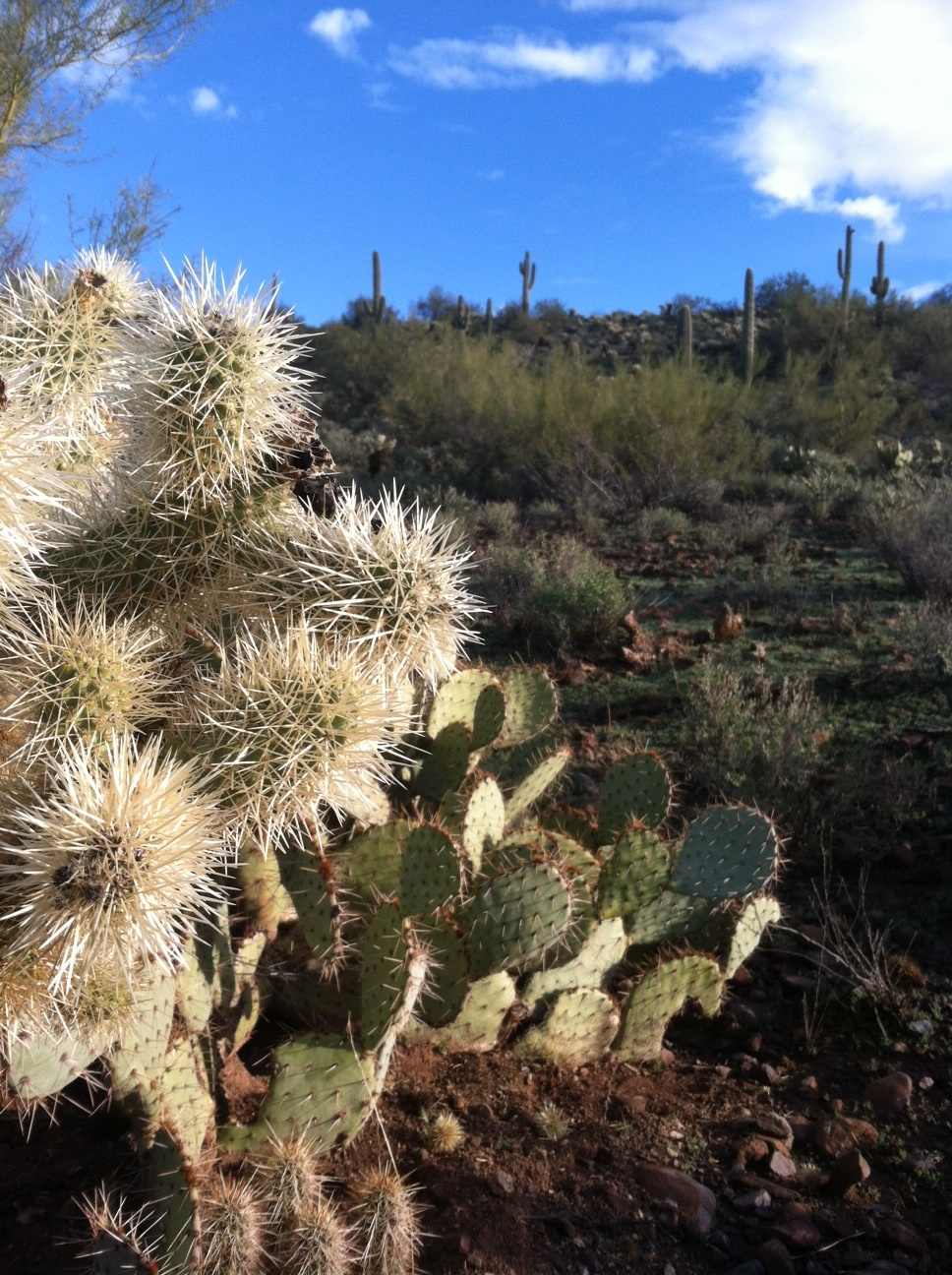 Cholla and Prickly pear