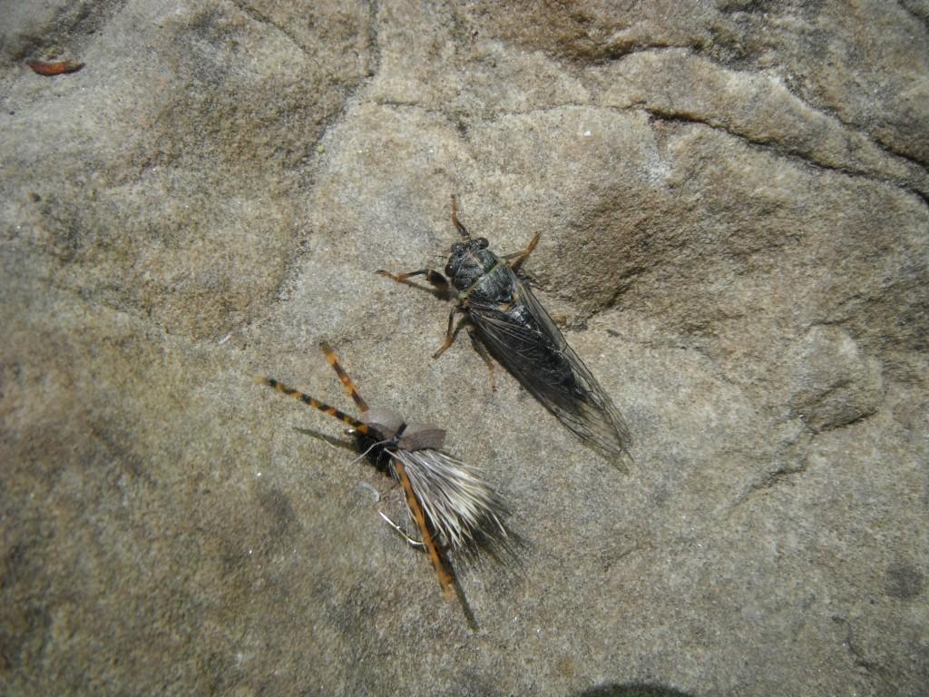 Cicada fly pattern