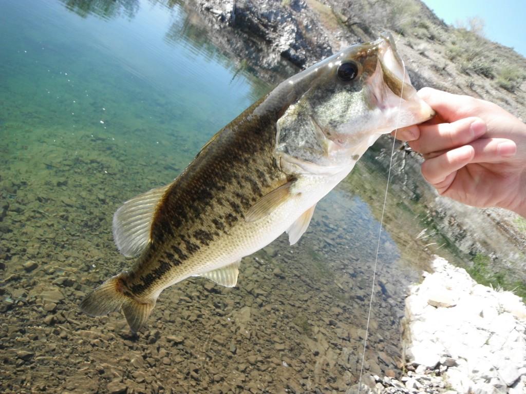 Arizona fly fishing lake pleasant arizona for Lake pleasant fishing report